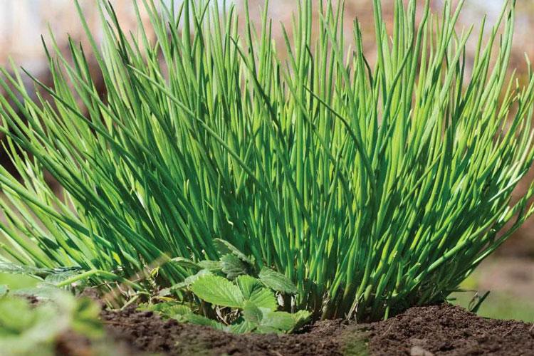 نحوه کاشت سبزی تره